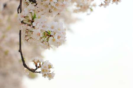 Sakura cherry branch on tree flower