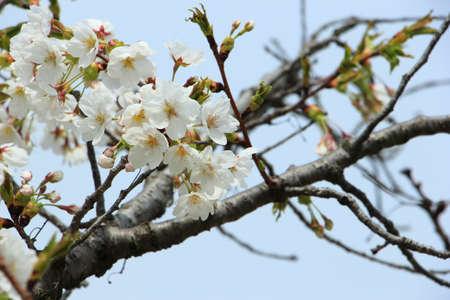 Sakura flower, Closeup cheery blossom