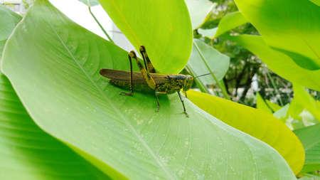 Grasshopper on a green leaf in the garden