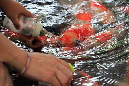 Human hand feeding crap fish in pond.