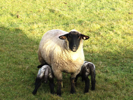 A ewe and two lambs in a field photo