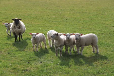 Some sheep and lambs in a field Stock Photo - 9394916