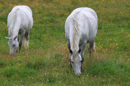 Two grey horses grazing in a field photo