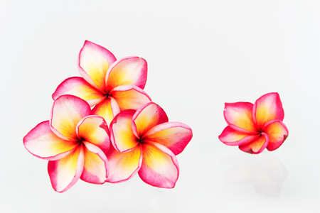 Flores del Plumeria aislados en blanco