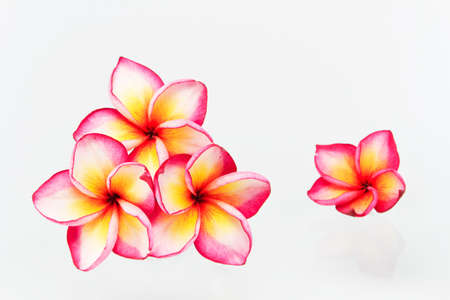 topical: Plumeria flowers isolated on white
