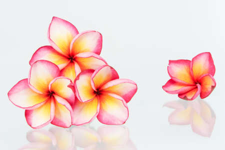 Plumeria flowers isolated on white photo