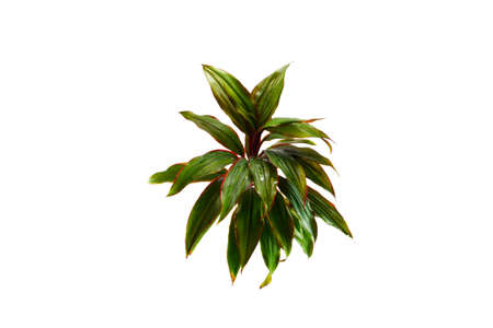 cordyline: Cordyline fruticosa Stock Photo