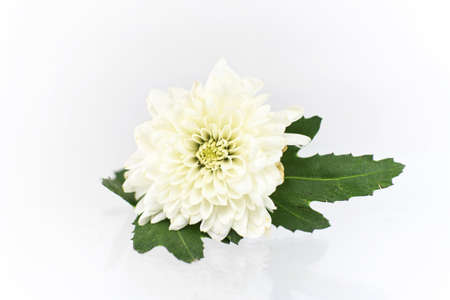 White chrysanthemum on a white background photo
