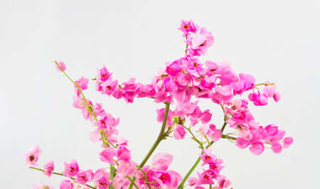 Antigonon leptopus or Pink Coral Vine isolated on a white photo