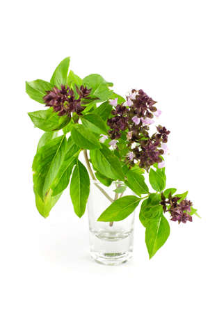 favoring: Sweet Basil or Thai Basil isolated on a white background