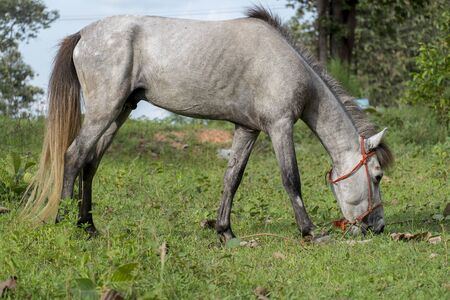 White horse eating grass Stock Photo