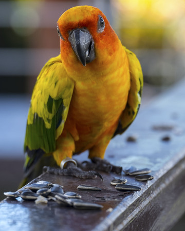 Sun conure parrot is eating
