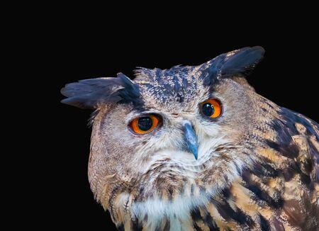 Owl on dark background.