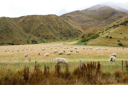 pecora: Allevamento di pecore