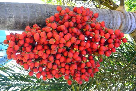 Betel palm  Or Areca catechu photo