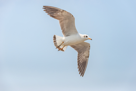 Flying seagull with clear sky