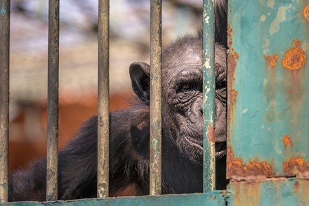 jail: Monkey looks at camera in zoo, Staring monkey look though the cage Stock Photo