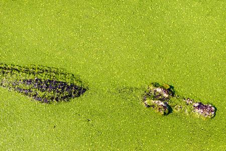 Crocodile in green swamp, crocodile stay still in marsh