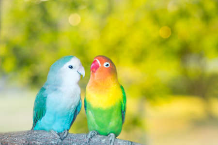 Blue and green Lovebird parrots sitting together on a tree branch at sunset.Blurred green natural background
