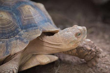 African Spurred Tortoise (Geochelone sulcata) Stock Photo