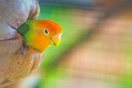 Green Lovebirds in coconut nest Stock Photo