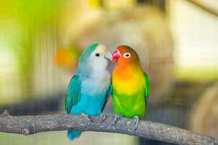 Perroquets inséparables bleu et vert assis ensemble sur une branche d'arbre, baiser inséparable, image avec grain.