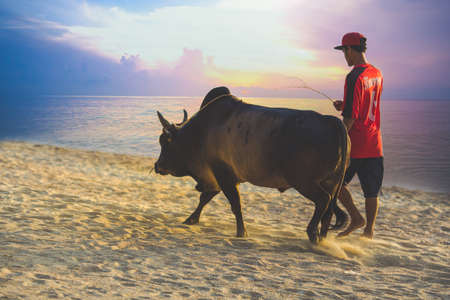 Songkhla, Thailand - June 13,2017 - Bring the cow to the gym at Samila Beach at sunrise.Cow fighting is famous in Thailand.