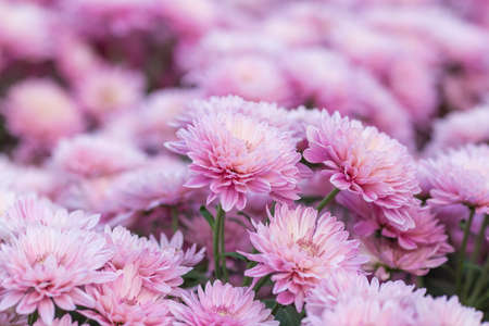 Chrysanthemum pink flowers in the garden.Image with Grain. Stock Photo