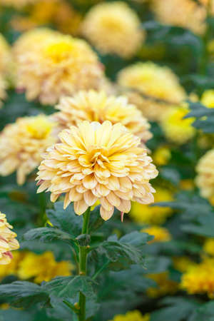 Chrysanthemum yellow  flowers in the garden.Image with Grain.