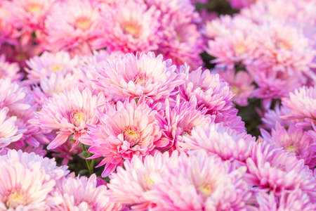 Chrysanthemum pink flowers in the garden.Soft focus.Image with Grain. Stock Photo