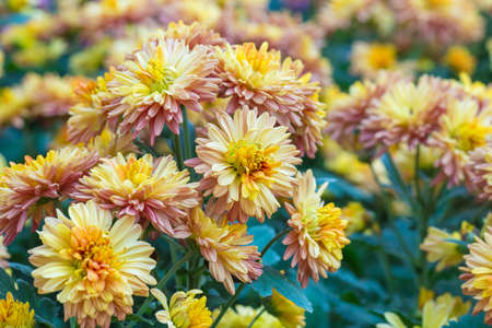 Chrysanthemum yellow  flowers in the garden.Image with Grain.Soft focus Stock Photo