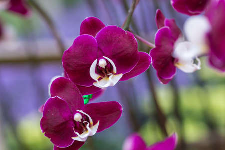 Purple orchid on the inflorescence in the garden. Stock Photo