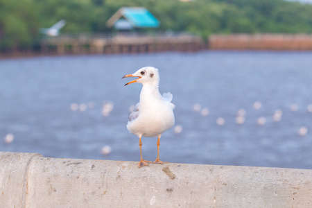 Seagull standing on a bridge, background, flocks of seagulls flying.at Bangpoo, Thailand.