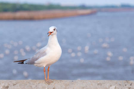 Seagull standing on a bridge, background, flocks of seagulls flying at Bangpoo, Thailand.