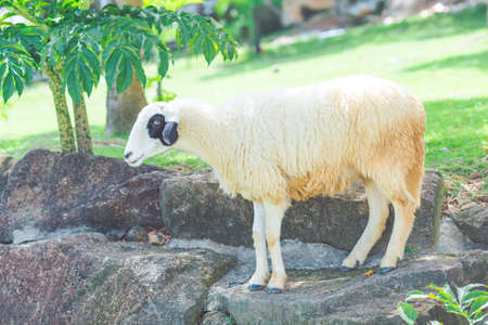 White sheep standing on a rock in a farm