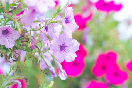Petunia purple on a bouquet of blurred backgrounds. Standard-Bild
