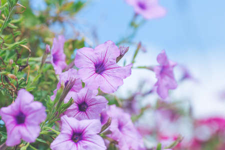 Petunia purple on a bouquet of blurred backgrounds. Stock Photo