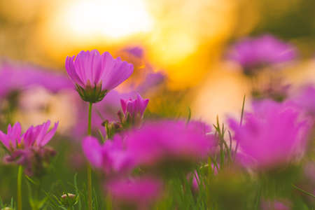Pink cosmos flowers at sunset, soft focus
