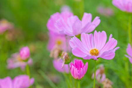 Pink cosmos flowers, soft focus