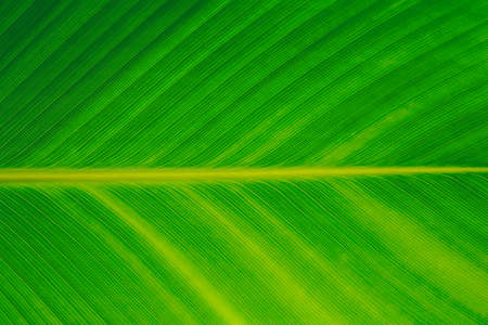 Nature green banana leaf texture for background image