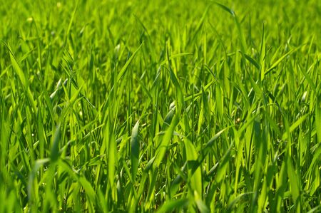 poured: the photo shows the rye, which poured in different shades of green in the spring sun