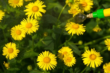 viability: the photo shows hydration of yellow daisies Stock Photo