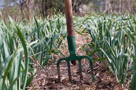 mulched rows of garlic