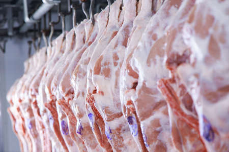 Raw porks meat hanging in a refrigerator of meat factory.