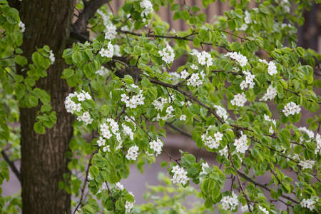 Flowering pear tree. White flowers and green leaves on the branches.