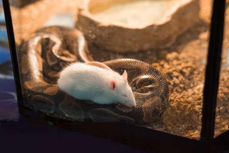 the mouse fell asleep on a snake Standard-Bild
