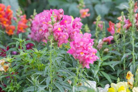 snapdragon: Antirrhinum flowers Stock Photo
