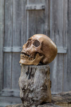 cannibal: Human skull rests on the old wood.