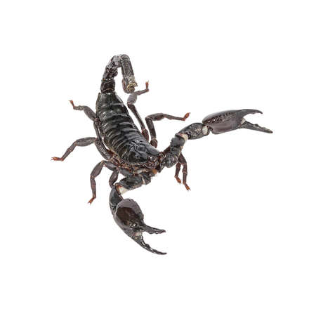 erectile: Scorpion on a white background.