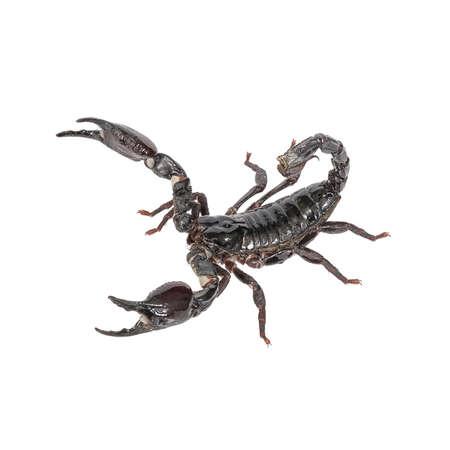 Scorpion on a white background. photo